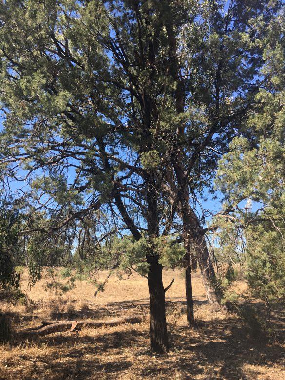 サイプレスの樹木
